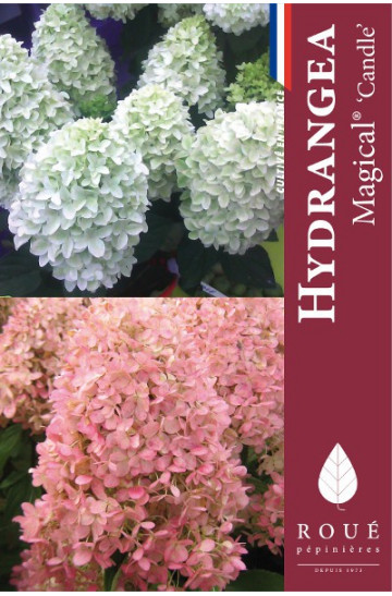 hortensia paniculata 39 magical candle 39 nos hortensias. Black Bedroom Furniture Sets. Home Design Ideas