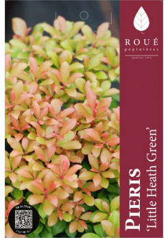 Pieris 'Little Heath Green'