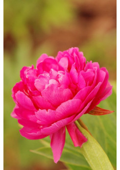 Paeonia - Pivoine 'Riches and Honours'