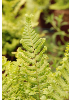 Dryopteris 'Cristata The King'