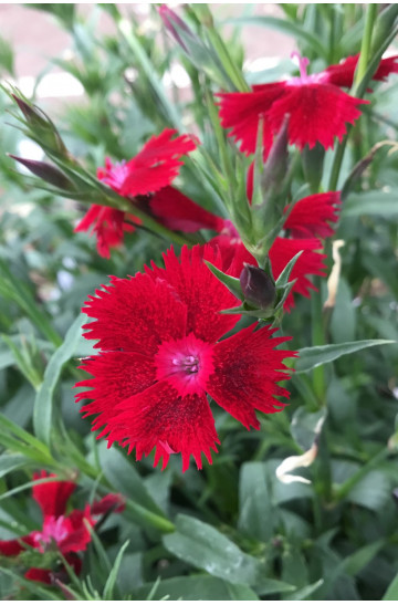 Oeillet - Dianthus 'Rocking Red'