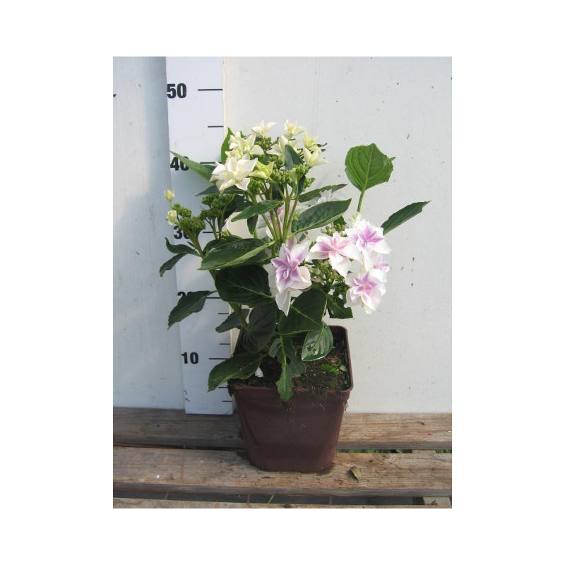 hortensia macrophylla 39 star gazer 39 nos hortensias roue. Black Bedroom Furniture Sets. Home Design Ideas
