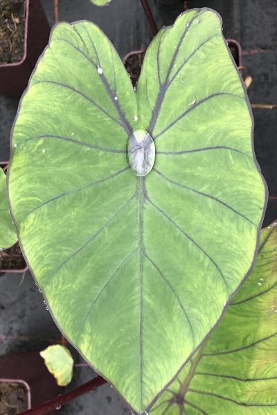 colocasia blue hawaï