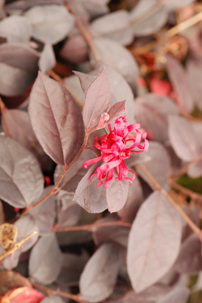 loropetalum ever red