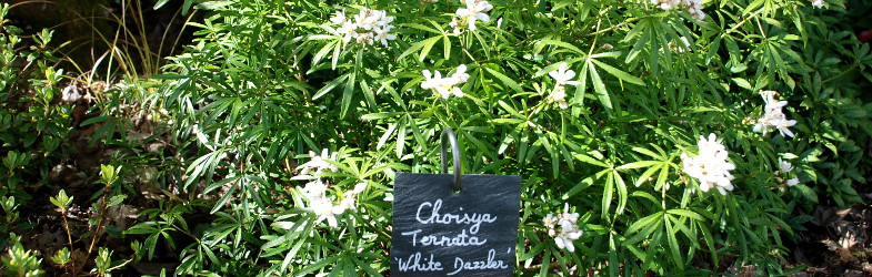 Choisya White Dazzler