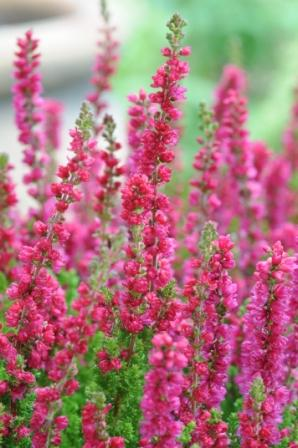 Calluna Dark Beauty