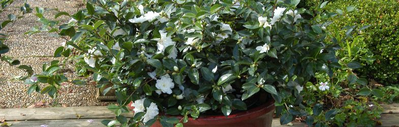 Camelia moonlight en pot