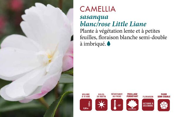 Camelia Little Liane
