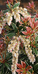 Pieris Little Heath Variegata