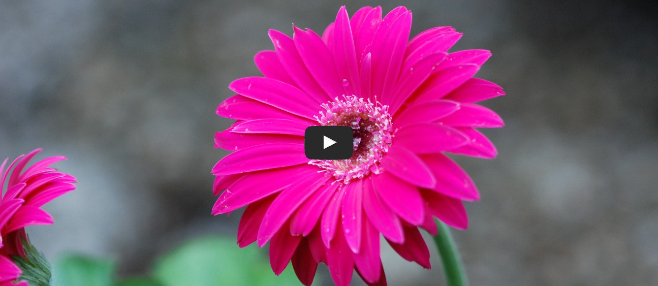 Le Gerbera garvinea® Sweet Dreams